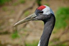Grue Rouge-naped mandchoue Photo libre de droits