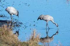 Grues au lac Hornborga en Suède Image libre de droits