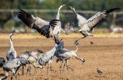 Grues de danse sur le champ arable Grue commune ou grue eurasienne, nom scientifique : Grus de Grus, Grus communis photographie stock