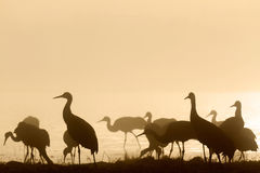 Grues de Sandhill Photo stock