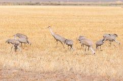 Grues de Sandhill alimentant dans un domaine de grain Images stock