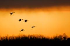 Grues de Sandhill au coucher du soleil Image stock