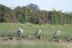 Grues de Sandhill en nature Photo libre de droits