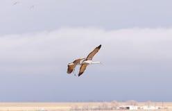 Grues de Sandhill entrant pour un atterrissage Photographie stock