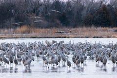 Grues de Sandhill recueillant sur la rivière Platte photographie stock