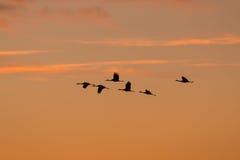 Grues de Sandhill silhouettées au lever de soleil Photographie stock