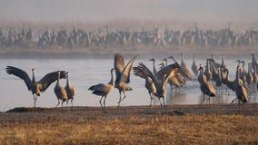 Grues de Sandhill sur la rivière Platte Photographie stock libre de droits
