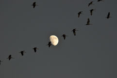 Grues et lune de Sandhill Image stock