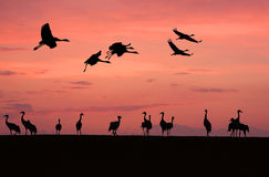 Grues (grus de Grus) Photo stock