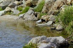 Grues nageant en rivière image stock