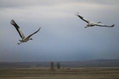 Grues volant au-dessus des champs Image libre de droits