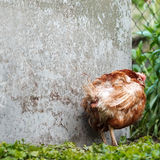 Gruff chicken in a corner. The chicken says: Im not talking to you until you give me BIO-grain royalty free stock image