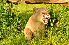 Gruñido en una cara del león de montaña Fotos de archivo libres de regalías