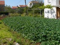 Grule w kuchennym ogródzie w Mediterranian Obraz Royalty Free