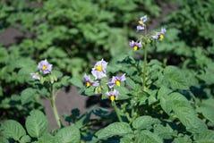 Grule w ogródzie, kwiaty z purpurowymi kwiatami w wczesnym lecie, fotografia stock