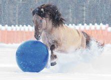 Grulla bashkir horse play ball Royalty Free Stock Photography