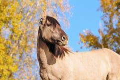 Grulla Bashkir Pferd Lizenzfreies Stockbild