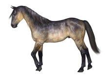Grulla häst på vit Royaltyfri Bild