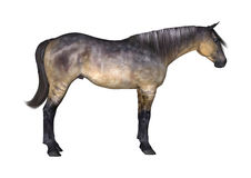 Grulla Horse on White Stock Images
