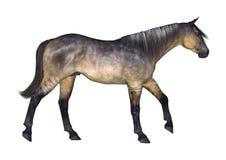 Grulla Horse on White Royalty Free Stock Photo