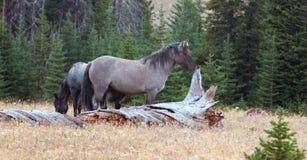 Grulla Stallion wild horse next to dead tree log in the Pryor Mountains Wild Horse Range in Montana USA Stock Photos