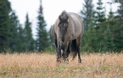 Grulla Stallion wild horse walking with lowered head in the Pryor Mountains Wild Horse Range in Montana USA Royalty Free Stock Photography