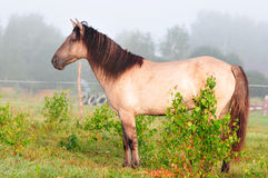 Grullo bashkir horse stock photos