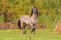 Grullo Bashkir Pferd Stockbilder
