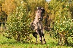 Grullo Pferd, das gegenüber zwei heftigen Schlägen im Rückstand ist Stockfotografie