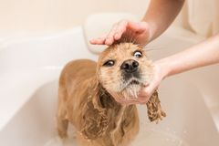 Woman washes foam from a dog. Grumer washes american cocker spaniel with foam and water in home Stock Images