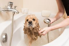 Grumer washes dog with foam and water. Grumer washes american cocker spaniel with foam and water indoor stock images