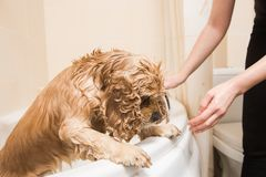 Wet dog in the bathroom. Grumer washes American cocker spaniel. Wet dog in the bathroom Royalty Free Stock Photo