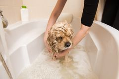 Grumer washes dog with foam and water. Grumer washes American cocker spaniel with foam and water stock photo