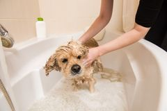 Grumer washes dog with foam and water. Grumer washes the dog with foam and water. American cocker spaniel in the bathroom royalty free stock images