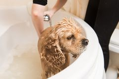 Grumer washes dog. Grumer washes the dog with foam and water. The dog is close up stock photo