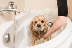 Grumer washes dog with foam and water. Grumer washes the dog with foam and water. Look at the camera stock images