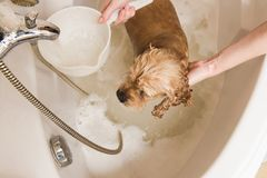Grumer washes dog with foam and water. Grumer washes the dog with foam and water. Woman washes foam from American cocker spaniel. View from above stock images