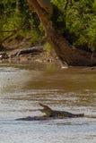 Grumeti河 休息在shallows鳄鱼 坦桑尼亚,非洲 库存照片
