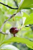 Grumichama, φρούτα γνωστά ως βραζιλιάνο κεράσι Στοκ Εικόνα