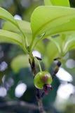 Grumichama, φρούτα γνωστά ως βραζιλιάνο κεράσι Στοκ φωτογραφία με δικαίωμα ελεύθερης χρήσης