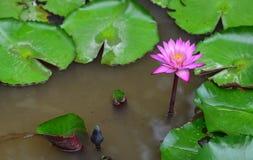 Grumligt blommande lotusblommadamm Royaltyfri Foto