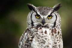 Grumpy. Closeup of a Great Horned Owl with a grumpy expression Stock Photo