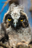 Grumpy Baby Owl in Tree Royalty Free Stock Photo