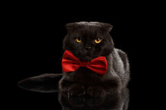 Grumpy Black Cat Lying with bow tie on Mirror. Isolated Royalty Free Stock Image