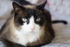 Grumpy-breed Siamese cat Stock Photo