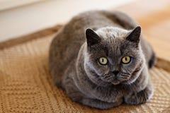 A grumpy British Short hair cat. A fat, grumpy, blue British Short hair cat sitting on a mat stock photos