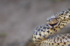 Grumpy Bull snake Royalty Free Stock Photo