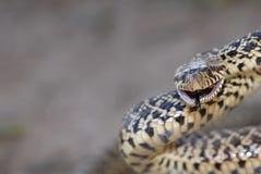 Free Grumpy Bull Snake Royalty Free Stock Photo - 37241495