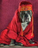 A thoughtful bulldog dressed ..... HDR. A thoughtful Olde English Bulldog in the HDR, which is dressed in a robe and cap Stock Photography
