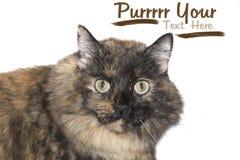 Grumpy cat. Stock Photography